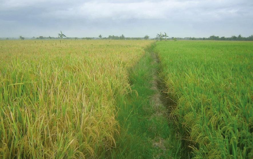 Rice Comparison
