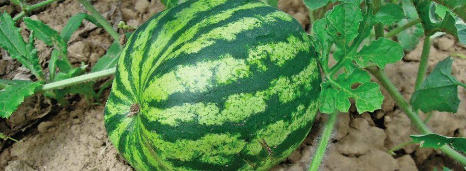 Watermelon Study
